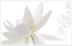 White Lotus Design - White-Lotus-02 (Bahman Farzad) Tags: white flower macro yoga design peace lotus relaxing peaceful meditation therapy whitelotus lotusflower lotuspetal lotuspetals lotusflowerpetals lotusflowerpetal