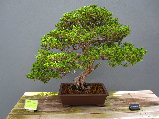 Sargent Juniper  (<em>Juniperus chinensis var. sargentii</em>), informal upright style. Over 111 years old. Photo by Rebecca Bullene.&#8221; /></a></p> <div>Sargent Juniper (<em>Juniperus chinensis var. sargentii</em>), informal upright style. Over 111 years &#111;&#108;&#100;. Photo &#98;&#121; Rebecca Bullene.</div> </div> </div> </div> </div> </div> <div> <div><img src=
