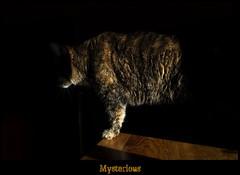 Mysterious (jodispayne.....Mostly off :() Tags: cat feline shadows nikki dramatic mysterious sunlit siamesecatsandtheirfelinebrotherspool