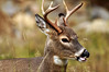 Its all in the tongue (Deby Dixon) Tags: nature photography nikon wildlife deer idaho buck deby allrightsreserved 2010 tongueaction youngbuck blacktaildeer idahopanhandle debydixon debydixonphotography