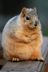Fat Girl (James Marvin Phelps) Tags: winter urban cute animal photography rodent furry squirrel michigan wildlife riverview scavenger foxsquirrel mandj98 jmpphotography jamesmarvinphelps