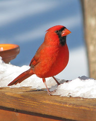 yard bird line up:  Mr. Cardinal
