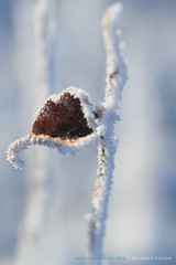 Something small (W!LSON'S V!S!ON) Tags: china travel winter white snow cold leaves closeup canon snowy beijing 7d hebei bashang winterscape innermongolia 500d closeuplens   eos7d wilsonsvision macro