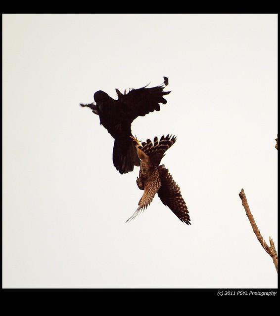 Crow VS. Merlin