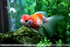 Crown Pearlscale Goldfish (mSafdel) Tags: pet fish aquarium goldfish iran ایران freshwater ماهی آکواریوم pearscale مرواریدی گلدفیش mohammadsafdel محمدصافدل crownpearscale