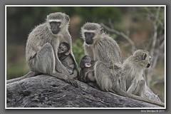 Vervet monkey family (Arno Meintjes Wildlife) Tags: family framed ff