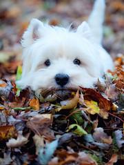 (paulh192) Tags: autumn dog home leaves kirby nikon westie playful