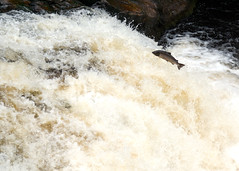 Salmon jumping in the Falls of Shin (AnneMarie Sharkey) Tags: scotland waterfall salmon sonya100 fallsofshin