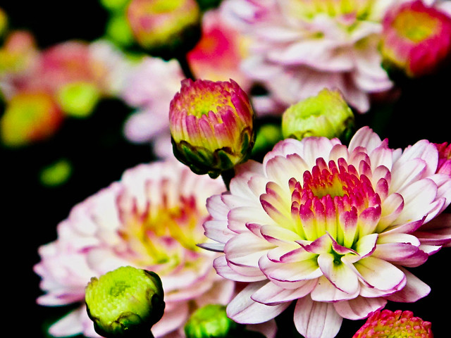 IMG_2428 美丽的菊花,Beautiful Chrysanthemum