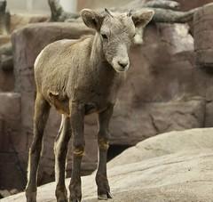A young Bighorn sheep (joeke pieters) Tags: ngc burgerszoo bighornsheep dierentuin 1167 oviscanadensis dikhoornschaap burgersdesert
