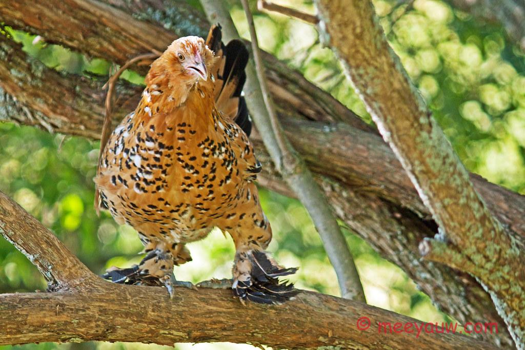 Barton Village Chickens   044.jpg