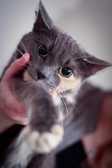 Pipsa (juhomattila) Tags: cute tag3 taggedout cat furry tag2 tag1 pipsa
