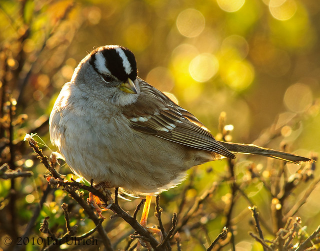 Backlit white-crowned sparrow  -- Pat Ulrich Wildlife Photography
