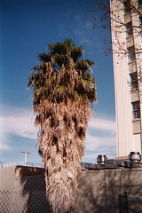January 22: Ungroomed Palm Tree (earthdog) Tags: tree film 35mm 50mm toycamera sanjose palm palmtree premier day22 2011 11122 project365 pc90 day22365 premierpc90 3652011 365the2011edition