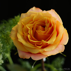 To my friend Ellen ! (Martha MGR) Tags: orange flower rose rosa mmgr saariysqualitypictures marthamgr marthamariagrabnerraymundo marthamgraymundo