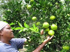 Judith Mwikali Musau introdujo con éxito el uso de injertos en sus cultivos. Según el FIDA, está claro que se requiere una nueva revolución agrícola para transformar al sector. Crédito: Isaiah Esipisu/IPS (Agencia de Noticias Inter Press Service) Tags: agricultura fida injertos