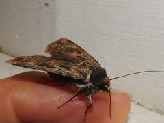 moths living in Kingston (jeaniephelan) Tags: moth insect flyinginsect