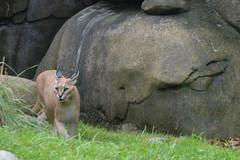Portland, OR - Washington Park - Oregon Zoo - Africa - Predators of the Serengeti - Caracal (jrozwado) Tags: northamerica usa oregon portland zoo washingtonpark caracal cat predator serengeti africa