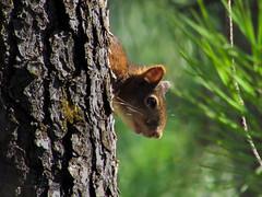 Squirrel! (DanielaC173) Tags: squirrel redsquirrel wildlife esquilo sciurus sciurusvulgaris