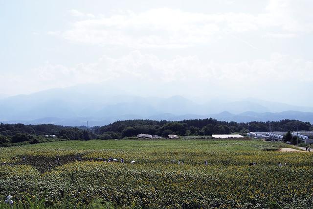 100821_141400_明野_ひまわり畑