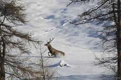 Ready, Set, Go!!! (Vincenzo Giordano) Tags: winter wild parco snow mountains alps male nature montagne nikon action natura deer neve alpen nikkor inverno alpi montagna cervo 55200 naturale orsiera rocciavr d7000 vincenzogiordano