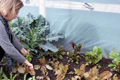 Thanksgiving lettuce 036