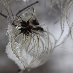 embellish (jenny downing) Tags: winter snow blur france cold macro closeup beard grey droplets drops blurry waterdrop bokeh curves clematis fluffy blurred monotone seeds droplet chilly curve delicate curved waterdrops waterdroplets wispy oldmansbeard curvaceous wintery awalkinthewoods travellersjoy wintry infrance greyish thewhitestuff jennypics takeninfrance jennydowning photobyjennydowning