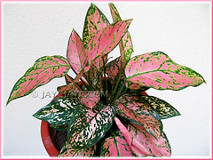 Our newly repotted Aglaonema 'Valentine', a Thai hybrid with pink+green variegation, March 26 2010