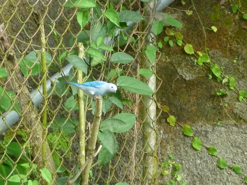 Pájaro Azul Macho