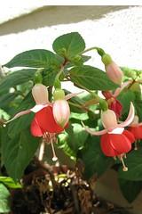 Fuchsia 'Roesse Oberon' (pennyeast) Tags: flower botanical fuchsia capetown papaalphaecho