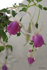 Fuchsia 'Sailor' (pennyeast) Tags: flower botanical fuchsia capetown papaalphaecho