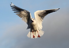 BHG (bojangles_1953) Tags: bird nature eos wildlife gull 7d anon blackheadedgull birdinflight fairburn