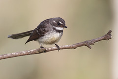 Grey Fantail (0ystercatcher) Tags: bird australia canberra act campbellpark greyfantail rhipiduraalbiscapa taxonomy:common=greyfantail geo:country=australia taxonomy:binomial=rhipiduraalbiscapa