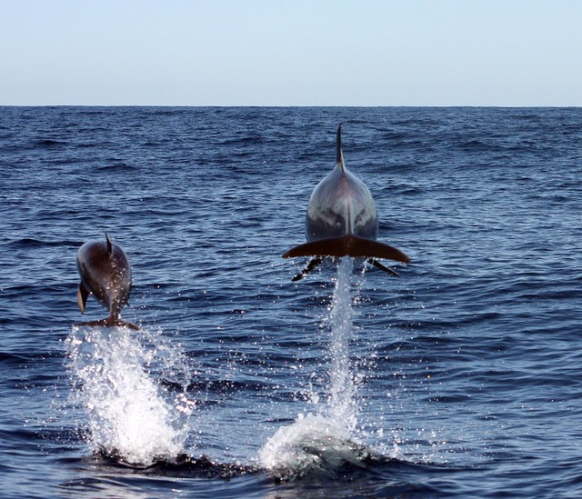 Dolphins off Port Stephens