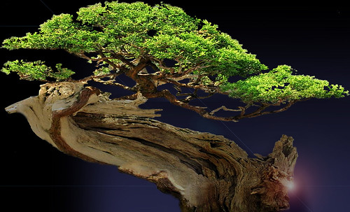 """Bonsai014 • <a style=""""font-size:0.8em;"""" href=""""http://www.flickr.com/photos/30735181@N00/5261345641/"""" target=""""_blank"""">View on Flickr</a>"""