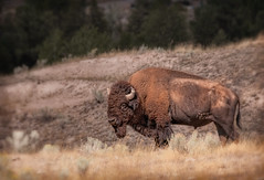 Bison, National Bison Range, Montana, USA (The Shared Experience) Tags: usa brown fur montana mt wildlife horns bison 2008 nationalbisonrange d300 120400