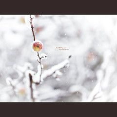 Out Of Season (Dkillock) Tags: winter snow david tree fall apple fruit canon eos prime branch dof open bokeh mark magic full ii frame 5d apples snowing f2 usm fullframe ef 135mm mkii wideopen llens canonef135mmf2lusm killock 5dmarkii 5d2 5dmkii magicprime dkillock davidkillockphotography