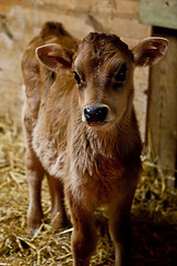 Calf (ramislevy) Tags: snow barn calf kinderfarmpark