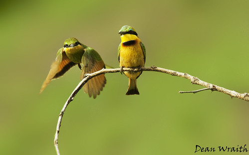 More Little bee-eaters