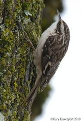 Brown Creeper (Garebear400) Tags: wild brown bird nikon creeper d300 fantasticnature