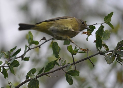 orange-crowned warbler mid-jump