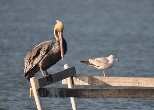 bown pelican and herring gull