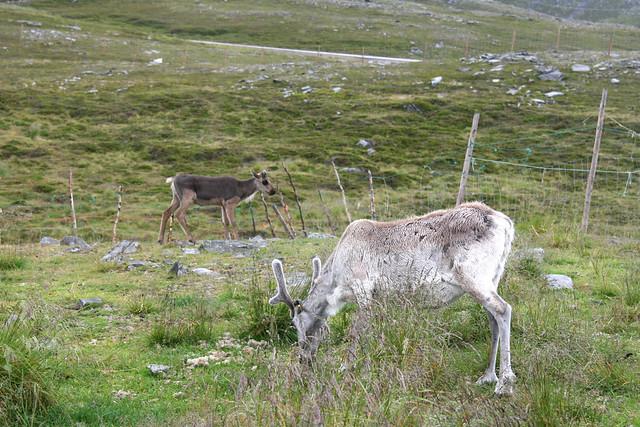 IMG_4855 reindeer
