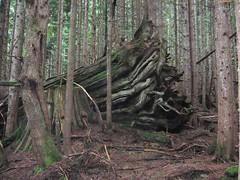 Gigantic Cedar Blowdown