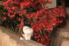 谷中 猫と紅葉