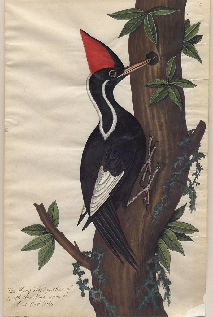 Live Oak, Ivory Billed Wood-pecker