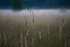 unbenannt-12 (spreeliebe) Tags: berlin deutschland flora nebel herbst natur pflanze wiese himmel gras sonne sonnenaufgang morgen koepenick graeser altweibersommer neblig herbstlich herbstzeit witterung erpetal