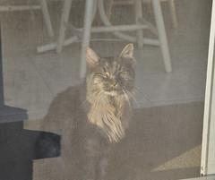 Simba in the setting sun (Margaret Bourne) Tags: cat screen settingsun