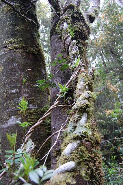 Lianas leñosas del Voqui de Canasta (<i>Campsidium valdivianum</i>) mostrando su hábito trepador, Cordillera de la Costa de Valdivia, Región de los Ríos.