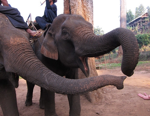 Elephants in Chiang Mai, day 60